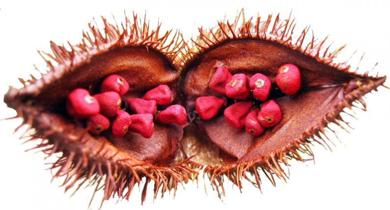 Secrets of the Lipstick Tree. Annatto Revealed
